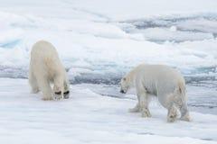 使用在浮冰块的两头年轻狂放的北极熊 免版税库存图片