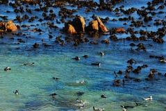 使用在海带冰砾海滩,南Afri的非洲企鹅 库存照片