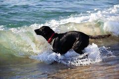 使用在海浪的黑拉布拉多猎犬 库存照片