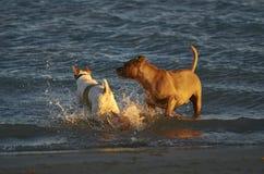 使用在海滩的两条狗 图库摄影