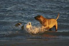 使用在海滩的两条狗 免版税库存图片