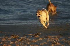 使用在海滩的两条狗 免版税图库摄影