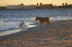 使用在海滩的两条狗 库存照片