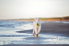 使用在海滩的白色瑞士牧羊人小狗 免版税库存图片