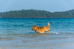 使用在海的一条金毛猎犬狗 免版税库存图片