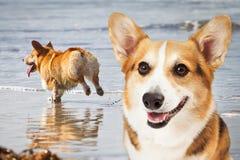 使用在海滩的两条小狗狗 库存图片