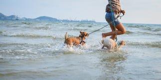 使用在海滩的两条泰国狗 图库摄影