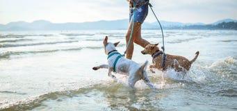 使用在海滩的两条泰国狗 免版税库存图片