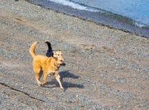 使用在海滩的两条狗在水附近渐近 库存照片