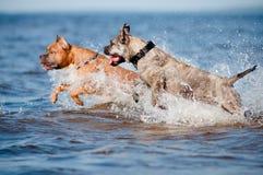 使用在海滩的两条狗 库存图片