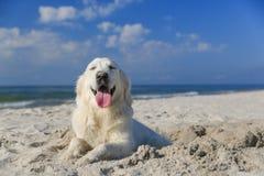 使用在海滩的愉快的金毛猎犬 免版税图库摄影