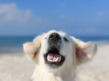 使用在海滩的愉快的金毛猎犬 免版税库存照片