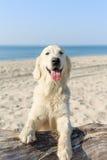 使用在海滩的愉快的金毛猎犬 免版税库存图片