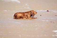 使用在海滩的湿狗 免版税库存照片