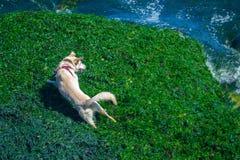 使用在海滩的狗 库存照片