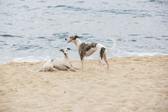 使用在海滩边缘的小狗 圣地波城北海岸  免版税图库摄影