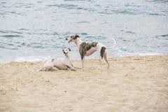使用在海滩边缘的小狗 圣地波城北海岸  免版税库存图片