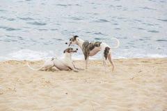 使用在海滩边缘的小狗 圣地波城北海岸  库存照片