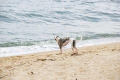 使用在海滩边缘的小狗 圣地波城北海岸  图库摄影