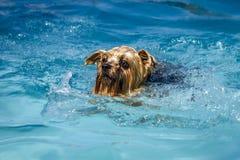 使用在游泳池的狗 免版税库存照片