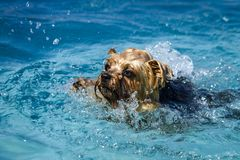 使用在游泳池的狗 免版税图库摄影