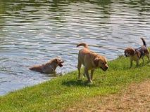 使用在湖的狗浇灌,当热的夏日 库存照片