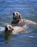 使用在湖的狗 免版税库存照片