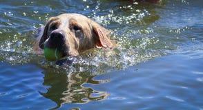 使用在湖的狗 免版税图库摄影
