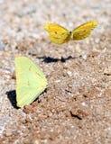 二只黄色蝴蝶在墨西哥 图库摄影