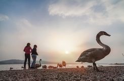 使用在瓦雷泽湖的孩子在与天鹅的日落期间 图库摄影