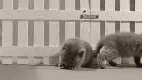使用在白色篱芭附近的英国Shorthair蓝色小猫 股票录像