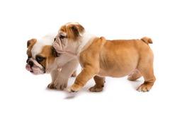 使用在白色背景前面的两只英国牛头犬小狗 免版税库存图片