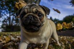 使用在秋天的哈巴狗离开秋天小狗 免版税库存照片