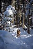 使用在积雪的森林足迹的德国牧羊犬狗 库存照片