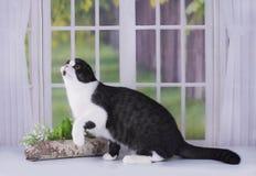 使用在窗口的自创苏格兰猫 图库摄影