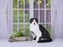使用在窗口的自创苏格兰猫 免版税库存照片