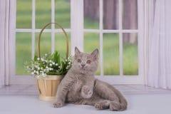 使用在窗口附近的淡紫色小猫在乡间别墅里 免版税库存图片