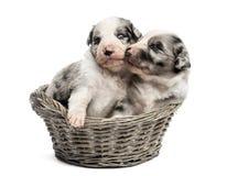 使用在篮子的两21只天的杂种小狗 免版税库存图片