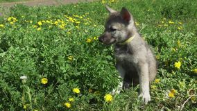 使用在绿色草坪的Saarloos猎狼犬美丽的可笑的小狗在公园库存英尺长度录影 股票视频