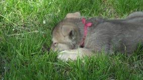 使用在绿色草坪的Saarloos猎狼犬美丽的可笑的小狗在公园库存英尺长度录影 影视素材