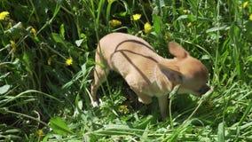 使用在绿色草坪股票英尺长度录影的美丽的可笑的奇瓦瓦狗小狗 影视素材
