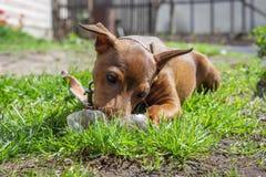 使用在绿草的愉快的狗 图库摄影