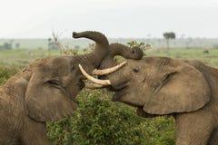 使用在肯尼亚的两头年轻大象 图库摄影