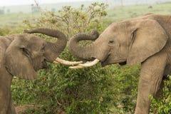 使用在肯尼亚的两头年轻大象 库存照片