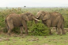 使用在肯尼亚的两头年轻大象 免版税库存照片