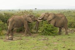 使用在肯尼亚的两头年轻大象 库存图片