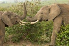 使用在肯尼亚的两头年轻大象 免版税库存图片