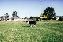 使用在草原的狗 库存图片