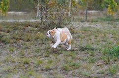 使用在草坪的两只英国牛头犬小狗 库存图片
