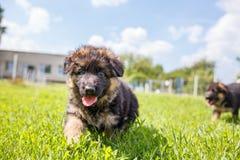 使用在草坪的德国牧羊犬敏捷小狗 免版税库存照片
